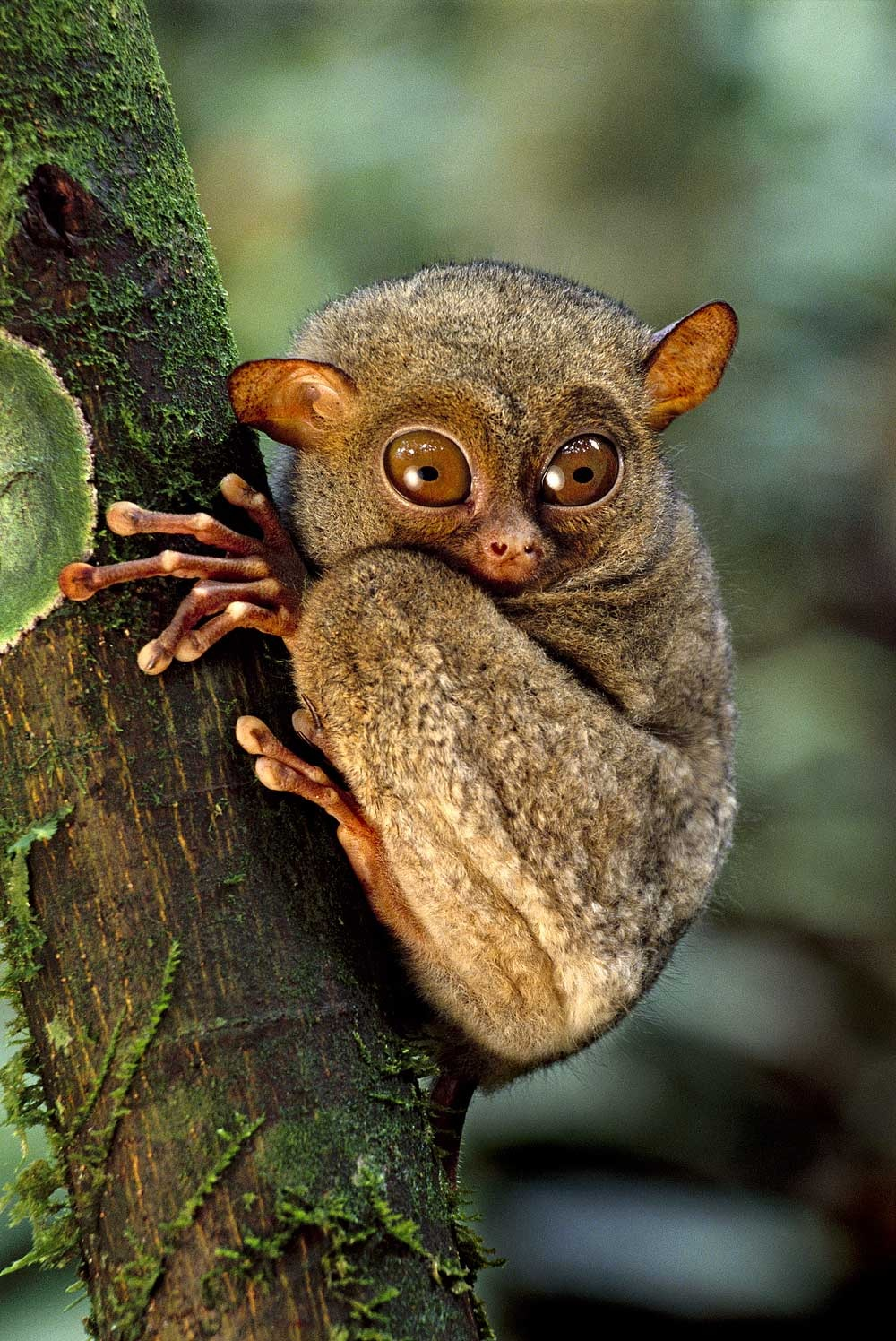 animals nature amazing borneo tarsier monkey endangered animal earth species creative geographic madagascar national cross between discover lanting tarsius frans